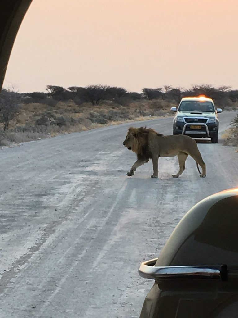 Namibia Lion with The Women's Travel Group- not a travel worry in our van